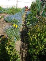nezábudky lemujú chodníček v záhradke