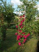 nádherné popínavé ruže