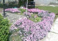 krása kvitnúcich záhradných klinčekov