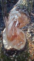 čerstvý dôkaz výskytu bobra /foto r. 2015/