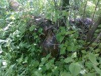 tento zhryzený strom potvrdzuje, že bobor sa vyskytuje na hornom toku rieky Ondava v obci Cigla, čo potvrdzuje aj SAŽP /foto r. 2013/