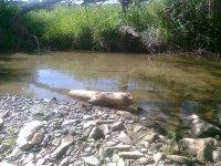 znak výskytu bobra - drevo akoby obsekané sekerou v Ondave /foto r. 2013/
