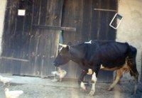 kravy boli skoro v každom dvore