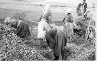družstevníčky pri zbieraní zemiakov
