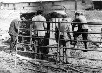 váženie býkov